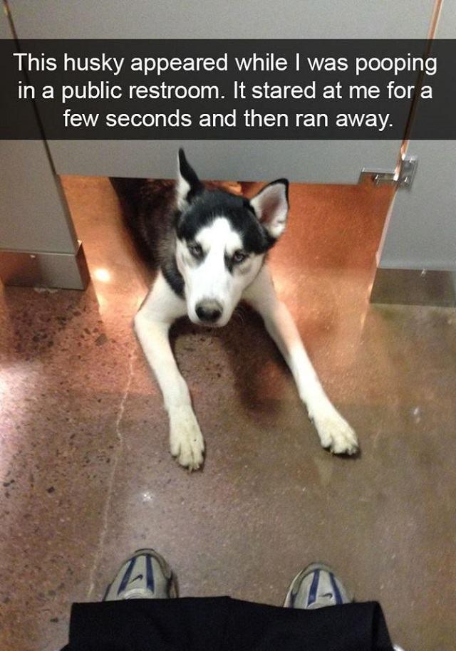 husky-encarando-o-seu-dono-enquanto-usa-banheiro