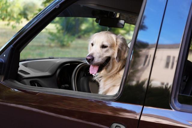 O que fazer em caso de acidente de carro com o seu cachorro