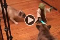 Para rir: cães tentam lutar contra mestre Yoda dos filmes Star Wars