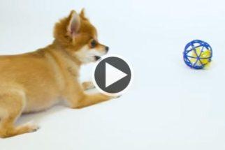 Para rir: trio canino não sabe como lidar com brinquedos para gatos