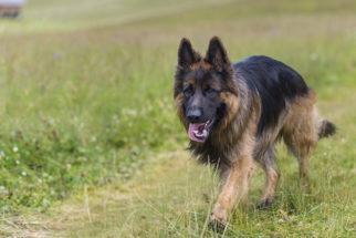 Ômega 3 é uma solução para a queda de pelos do cachorro