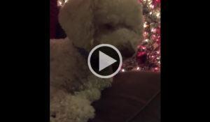 poodle-dorme-enquanto-sua-tutora-canta-musica-natalina