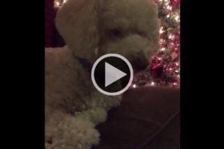 Poodle dorme enquanto sua tutora canta música natalina