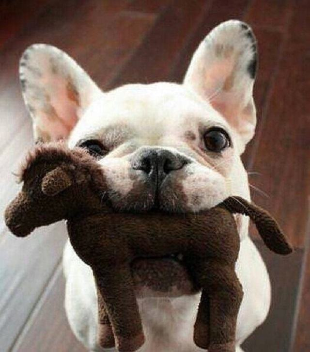 pug-frances-todo-orgulhoso-mostrando-seu-brinquedo-favorito