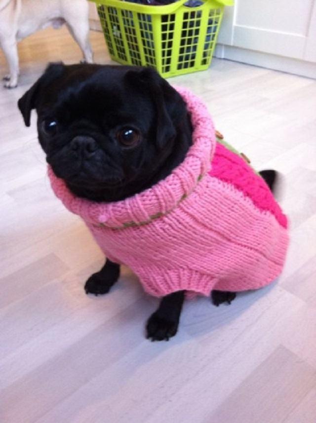 pug-usando-um-sweater-rosa