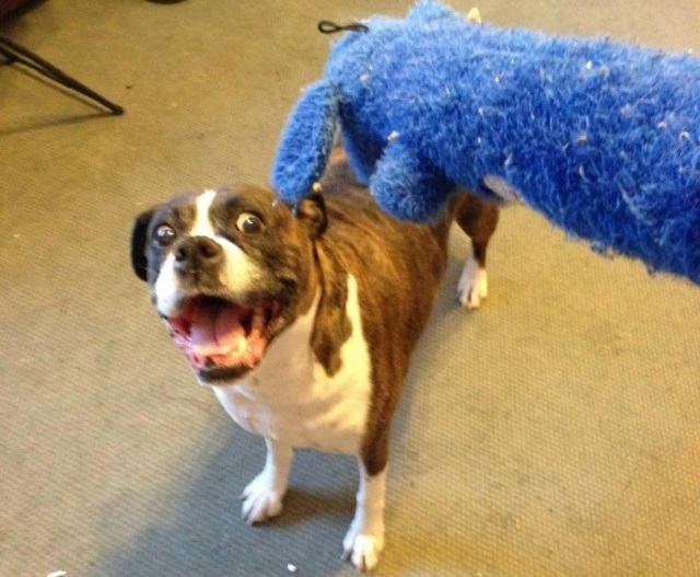 reacao-de-cadela-ao-ver-seu-brinquedo-favorito