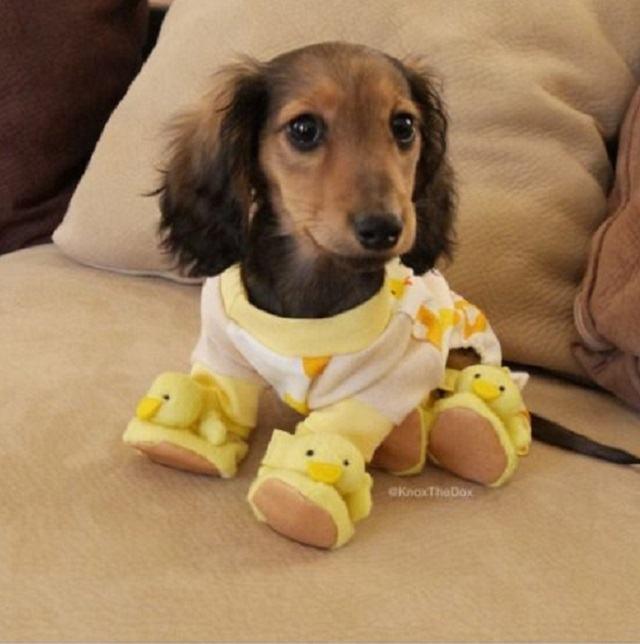 salsichinha-usando-pijama