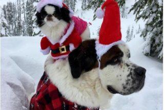 São Bernardo adota cadelinha que adora andar sentada em suas costas
