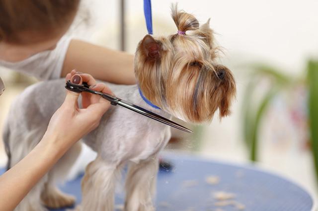 Quando o animal tem muito pelo é indicado realizar a tosa higiênica com a tesourinha