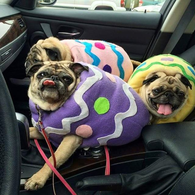 trio-de-pugs-fantasiados-de-ovos-de-pascoa