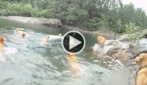 verao-grupo-de-golden-retrievers-se-divertem-nadando-em-lago