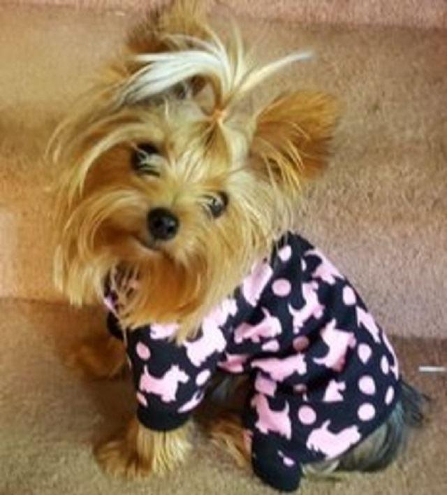 yorkshire-usando-pijama