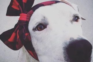 Após perder orelha, cadela usa laços na cabeça enquanto se recupera