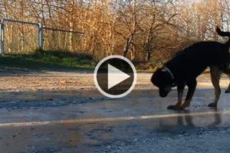 Brincalhona, cadelinha adora quebrar gelo de poças d'água