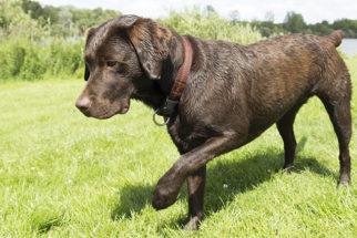 Como devo tirar farpas do meu cão?