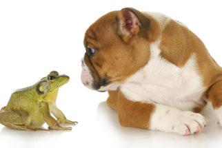 Veneno de sapo infecta cachorro: veja o que fazer nesses casos