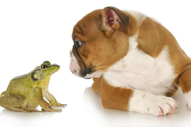 Se o pet tiver contato com o veneno de sapo leve imediatamente ao veterinário