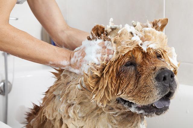 Um banho com água e sabão é o jeito mais eficaz de se combater o impetigo em cães