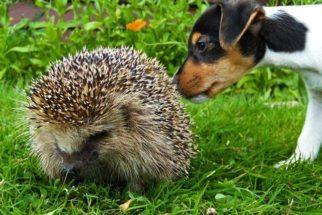 Espinho de ouriço ou porco-espinho em cachorro: como retirar?