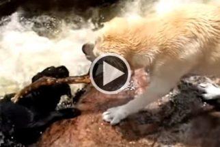 Fofura: cães brincam de resgate aquático em correnteza de rio