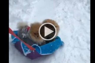 Fofura: lulus da pomerânia se divertem na neve