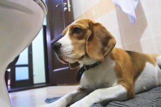 O seu cão te segue até o banheiro? Descubra o que ele quer dizer com isso
