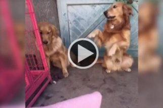 Para rir: cãozinho entrega irmã que fez bagunça para tutora