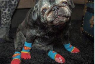 Vida de pug idosa muda após ela começar a usar meias