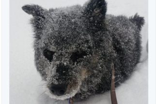 10 cães que não se deixaram abalar por uma 'simples' nevasca
