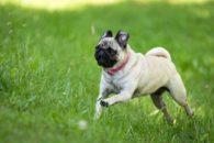 30 nomes para cães da raça pug. Veja sugestões e se inspire