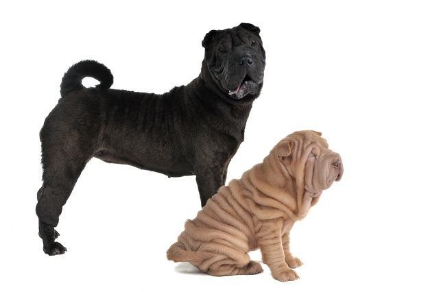 As raças de cachorros que são mais medrosas que o Scooby-Doo