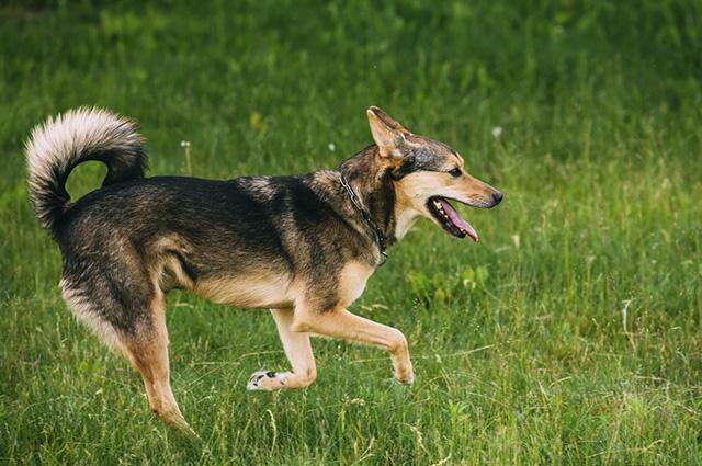 A manqueira em cachorros pode se dar depois do animal contundir algum músculo