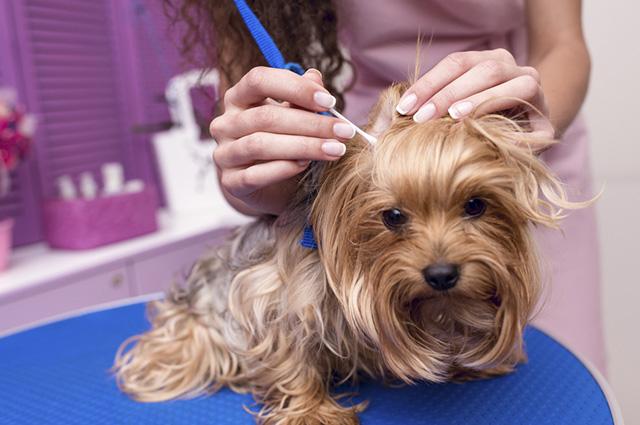 Cera em excesso, sabão e objetos estranhos podem causar a infecção nos ouvidos dos cachorros