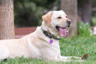 Conheça as 10 raças de cães 'experts' em fugir dos tutores