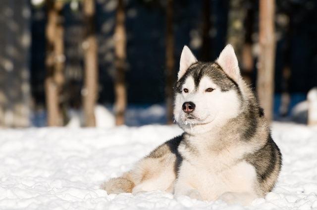Descubra quais as raças de cães que puxam trenós