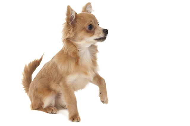 Edemas na pele do cachorro podem ser resolvidos com soluções caseiras