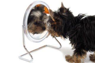 Entenda o comportamento do seu cão quando ele se vê no espelho