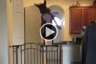 Hilário: cadelinha salta portinhola ao ser chamada por tutora