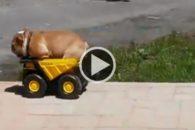 Hilário: cadelinha se diverte com seu caminhão de brinquedo