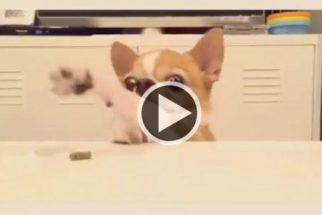 Hilário: chihuahua pequenino se esforça para pegar petiscos