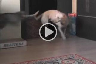 Luta do século: cadelinha destemida enfrenta gato ninja