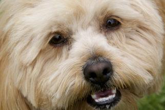 Catarata e esclerose de catarata em cães. Confira sintomas, diagnóstico e tratamento