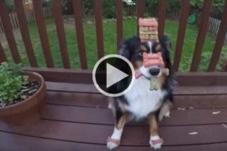 Paciência: cãozinho equilibra vários petiscos em seu focinho e cabeça