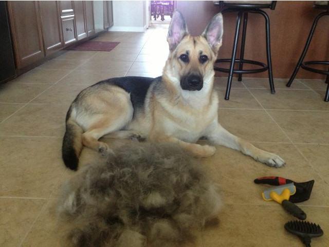 pastor-alemao-soltando-pelo