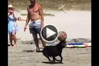 Talento: cãozinho habilidoso equilibra bola em seu focinho