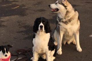 Cães salvam cadelinha de ataque de coiotes
