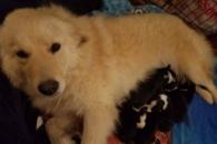 Após perder filhotes em incêndio, cadela adota cães orfãos