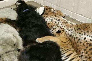 Cachorro adota filhotes de tigre que foram abandonados por sua mãe