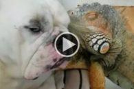 Amizade incomum entre cão e iguana é a coisa mais fofa que você verá hoje