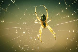 Picadas de aranhas em cachorros. Como agir e tratar